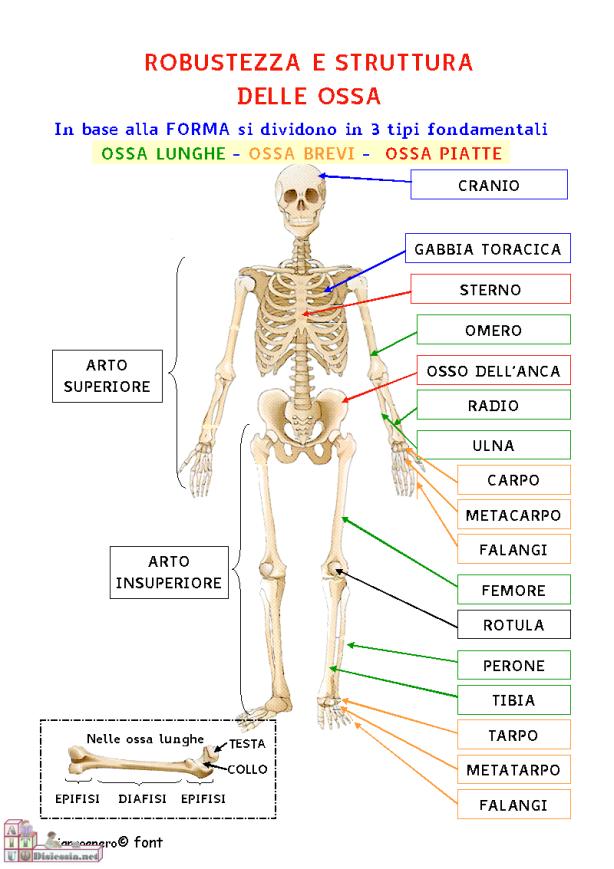 robustezza-e-struttura-delle-ossa